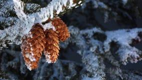 Snowcovered Pinecones lizenzfreies stockfoto