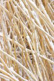 Snowcovered reed texture Royalty Free Stock Image