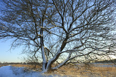 Snowcovered tree Stock Photography