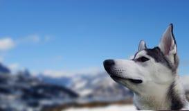 Snowdog Imagen de archivo