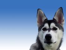 Snowdog Stock Photography