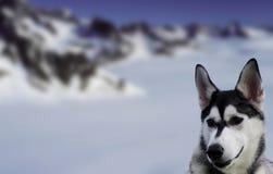 Snowdog Royalty Free Stock Photos