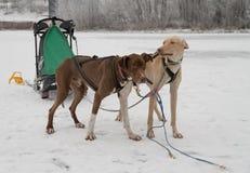 Snowdogs 1 Royalty-vrije Stock Afbeelding