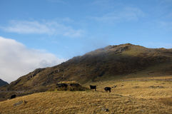 Snowdonia landscape and cattle Royalty Free Stock Photography