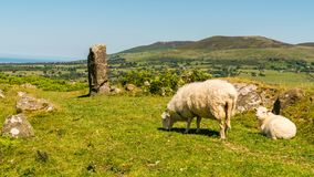 Snowdonia landscape near Rhiwlas, Wales, UK. With a sheep and a lamb grazing Stock Images