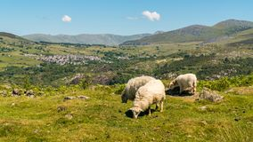 Snowdonia landscape near Rhiwlas, Wales, UK. With two sheep and a lamb grazing Stock Image