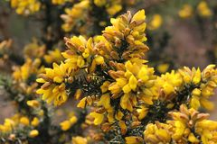 Yellow plants in the spring time. Snowdonian park plants in 2019 Spring time National park. Weles royalty free stock photography