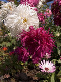 Snowdrift Chrysanthemums Royalty Free Stock Images