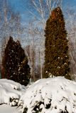 Snowdrifts στους θάμνους Στοκ φωτογραφία με δικαίωμα ελεύθερης χρήσης