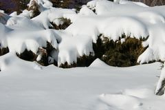Snowdrifts on bushes Royalty Free Stock Photos
