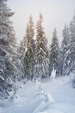 Snowdrifts in a winter forest Royalty Free Stock Image