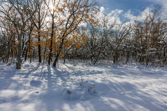 Snowdrifts in the winter woods. On a sunny day Royalty Free Stock Photography
