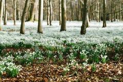 Snowdrop在冬天森林里开花完善对明信片 库存图片