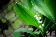 Snowdrop在庭院里 花森林春天白色 库存照片