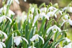 Snowdrop在春天 图库摄影