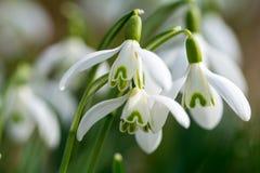 Snowdrop在春天 库存照片