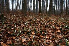 Snowdrop森林 免版税库存图片