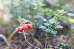 snowdrop的红色毒莓果 库存图片