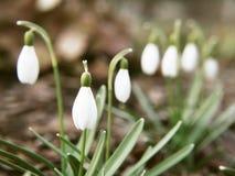 Snowdrop花在早期的春天 免版税库存照片