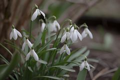 Lots of white flowers of the snowdrop royalty free stock photography
