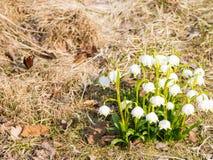 Snowdrop με την πεταλούδα στο φως του ήλιου, αναγέννηση του λουλουδιού άνοιξη, σκηνικό με το διάστημα αντιγράφων Στοκ Εικόνα