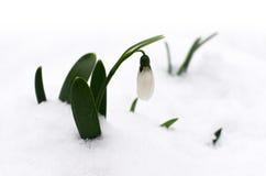 Snowdrop στο χιόνι Στοκ φωτογραφία με δικαίωμα ελεύθερης χρήσης