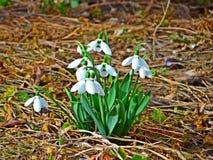 Snowdrop χαρούμενο Galanthus Στοκ εικόνα με δικαίωμα ελεύθερης χρήσης