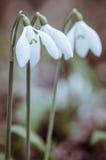 Snowdrop 3 белизн Стоковое Изображение