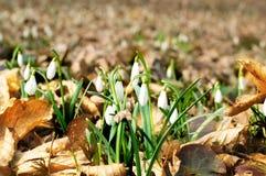 Snowdrop в древесинах весны Стоковые Фото
