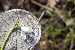 Snowdrop на пне дерева Стоковое Изображение