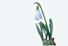 Snowdrop -在白色背景的第一朵春天花 免版税库存图片