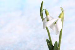 Snowdrop imágenes de archivo libres de regalías