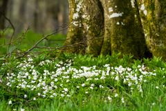 Snowdrop Στοκ εικόνα με δικαίωμα ελεύθερης χρήσης