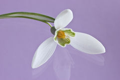 Snowdrop. Single snowdrop in natural light on glass with reflection on pale purple background Stock Photo