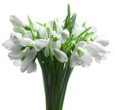 Snowdrop Royalty Free Stock Images