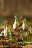 Snowdrop. The snowdrop in spring forest Royalty Free Stock Image