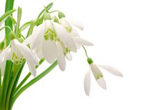 Snowdrop. The snowdrop on a white background Stock Images