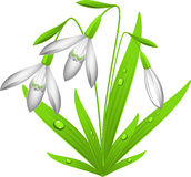 Snowdrop. Vector image of  snowdrop. Over white. EPS 8 Royalty Free Stock Photo