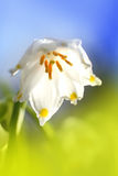 Snowdrop. Closeup against blue sky in Spring time Stock Photo