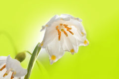 Snowdrop. Closeup on green background Stock Photography