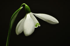 Snowdrop Fotos de Stock Royalty Free