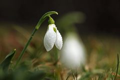Snowdrop Photographie stock