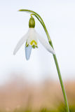 Snowdrop Royalty Free Stock Photo