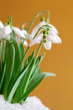 Snowdrop Photos stock