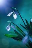 Snowdrop Fotografie Stock Libere da Diritti