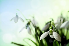 Snowdrop Photo stock