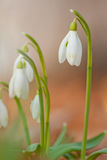 Snowdrop Royalty Free Stock Photos