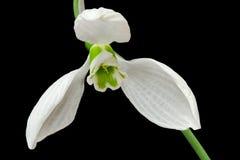 Snowdrop Imagens de Stock Royalty Free