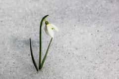 Snowdrop Fotografering för Bildbyråer