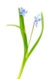 在白色背景隔绝的Snowdrop蓝色 图库摄影